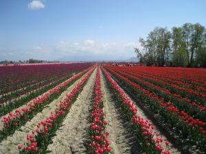 Field of red tulips in Mt. Vernon, Washington