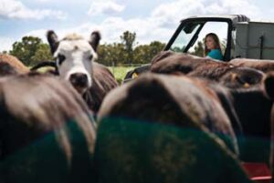 Carey Portell in utility vehicle checks cattle in foreground